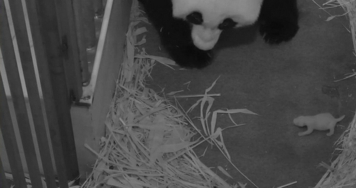 Courtesy of Smithsonian's National Zoo via AP This handout photo provided by the Smithsonian's National Zoo, taken Aug. 29, 2013, shows teh zoo's Panda mother Mei Xiang with her cub at the zoo in Washington. The zoo said Thursday its 2-week-old giant panda cub is female. The Washington zoo also revealed Thursday that the cub's father is National Zoo panda Tian Tian.