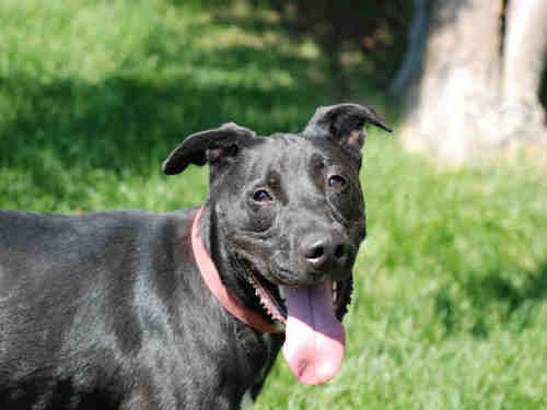 Apollo • An adventurous black lab, Bubby is housebroken and is good with everybody -- except cats. The 2-year-old relishes water and activity.