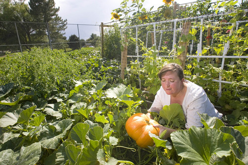 Paul Fraughton  |   The Salt Lake Tribune Andrea Aguin, steward of Hillsdale Community Garden in West Valley City,  admires one of the pumpkins growing in the newly established garden, which is part of Salt Lake County's urban farming program.                            Wednesday, September 4, 2013