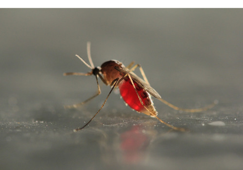 PRNewsFoto/Orkin, LLC - file photo | West Nile virus has been found in mosquitoes along the Wasatch Front, whereas the virus had previously been confined to southern Utah.