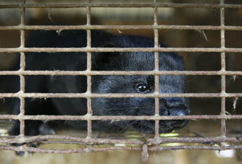 A mink paces its cage at a mink farm in Sandy in 2008. Photo by Francisco Kjolseth/The Salt Lake Tribune