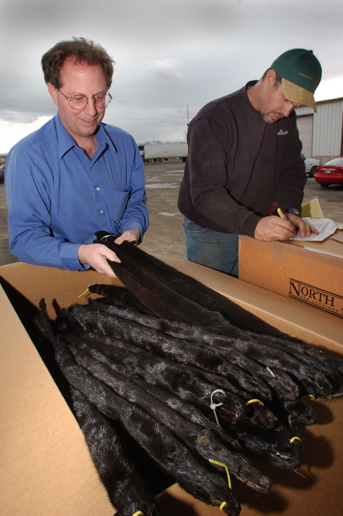 As Christopher Falco, General Manager of  the Fur Breeders Association Co-op loads a few more mink pelts into a box for shipment to Seattle, Mink rancher Ryan Holt checks out the paperwork for the pelts. photo: fraughton  1/30/03
