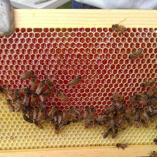 This red honeycomb was produced by bees that fed on a candy cane byproduct. State officials have encouraged beekeepers to turn in the red honey. Courtesy Utah Department of Agriculture and Food