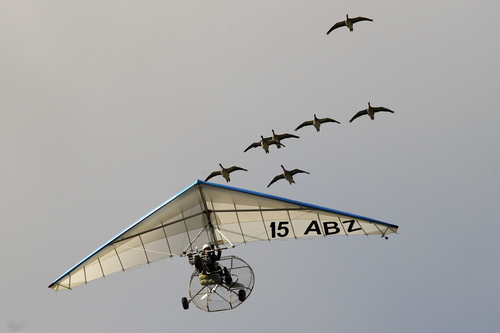 """French pilot and migratory bird protector Christian Moulec accompanied by Lesser White-fronted Geese performs an ultralight flight during the 40th Icare Cup paragliding festival in Saint Hilaire du Touvet, French Alps, Saturday, Sept. 21, 2013. The """"Coupe Icare"""" dedicated to free flight, orchestrates all the various types of flying such as hang gliding, paragliding and acrobatic sailplaneing. (AP Photo/Francois Mori)"""