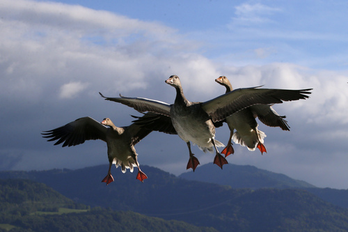 """Lesser White-fronted Geese prepare to land next to French pilot and migratory bird protector Christian Moulec (unseen) on a ultra light flight during the 40th Icare Cup paragliding festival in Saint Hilaire du Touvet, French Alps, Saturday, Sept. 21, 2013. The """"Coupe Icare"""" dedicated to free flight, orchestrates all the various types of flying such as hang gliding, paragliding and acrobatic sailplaneing. (AP Photo/Francois Mori)"""