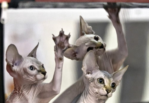 In this Sept. 28, 2013 photo, Sphynx kittens reach for a referee's toy while being evaluated during an international feline beauty show in Bucharest, Romania. Hundreds of felines from several countries take part in the two-day beauty contest in the Romanian capital. (AP Photo/Vadim Ghirda)
