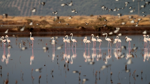 Flamingos stand in a lagoon near Messolongi, in western Greece, on Monday, Sept. 30, 2013. The lagoon is part of protected wetlands, that also includes marshes and ponds. The migratory flamingoes use the lagoon and salt evaporation ponds of Messolongi during the summer months before moving further south for the winter. (AP Photo/Dimitri Messinis)