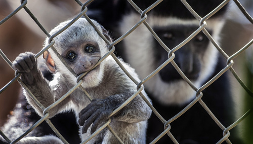 This Sept. 26, 2013, photo shows a baby black-and-white colobus monkey with its mother Kianga at the Santa Ana Zoo at Prentice Park in Santa Ana, Calif. The monkey was born Sept. 1 and is currently teething. (AP Photo/The Orange County Register, Bruce Chambers)