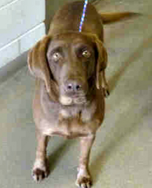 Cookie • A 4-year-old female chocolate lab, Cookie gets along well with other dogs and would be a great addition to your family.