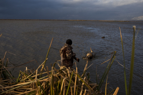 Chris Detrick     Tribune file photo   Carl Taylor's dog JB retrieves a dead pintail duck while duck hunting in Farmington Bay Tuesdayin 2010. Decoy ducks are in the background.