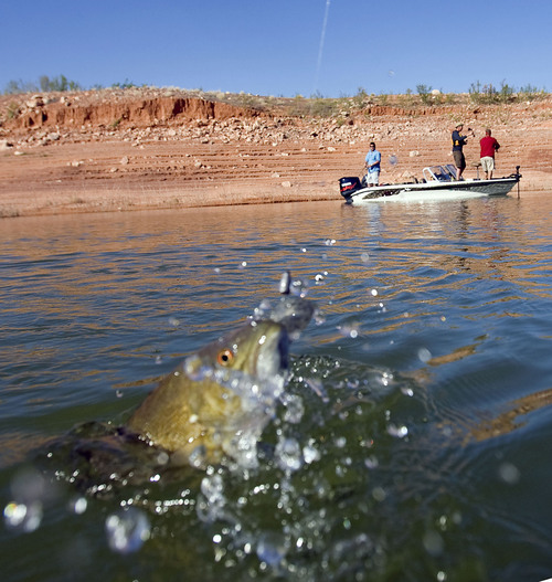 Al Hartmann  |  Tribune file photo  A caught Small Mouth Bass is pulled from water in Good Hope Bay at Lake Powell.