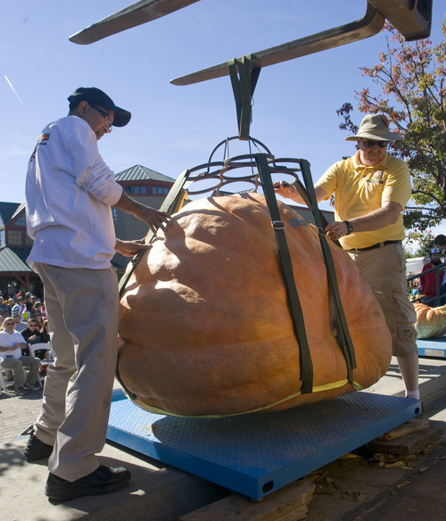 Rick Egan    The Salt Lake Tribune   The Utah Giant Pumpkins Growers weigh a giant pumpkin at the annual pumpkin weigh-off at Thanksgiving Point on Saturday, September 28, 2013.