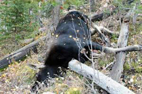 | Courtesy Utah Division of Wildlife Resources Utah Division of Wildlife Resources posted this photo to their Twitter account with the following info: Poachers killed 5 moose in separate incidents from Oct 5–7. Any info? Call 800-662-3337.