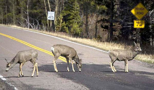 | Courtesy of the Utah Division of Wildlife Resources  Thousands of deer and other wildlife are killed on Utah roadways each year.