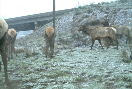 | Courtesy  Elk feed near a wildlife underpass on U.S. Highway 6 in Spanish Fork Canyon.