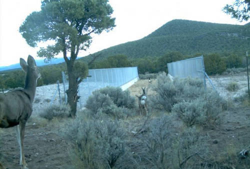| Courtesy  Mule deer use a wildlife overpass crossing in Utah.
