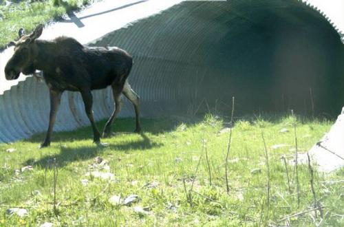 | Courtesy  A moose uses a wildlife culvert crossing near Logan.