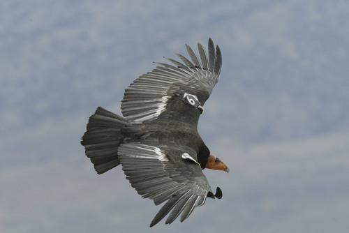 Chris Parish   Courtesy The Peregrine Fund An adult California condor from the Arizona/Utah population.