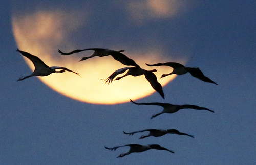 A flock of cranes flies past the rising moon in Nauen near Berlin, Germany, Friday, Oct. 18, 2013. The cranes rest in the wetlands west of Berlin on their way from breeding places in the north to their wintering grounds in the south. (AP Photo/Ferdinand Ostrop)