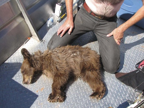 | Courtesy Utah Division of Wildlife Resources This young male bear decided to go for a swim in Lake Powell after being tranquilized, but before the drug took full effect. Jason Nicholes, a wildlife biologist with the Utah Division of Wildlife Resources, jumped into the water and saved the bear after it had passed out.
