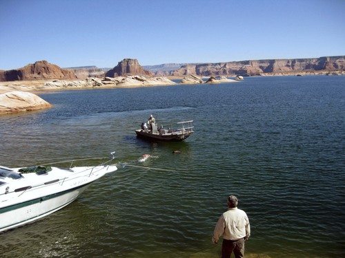 | Courtesy Utah Division of Wildlife Resources Jason Nicholes, a wildlife biologist with the Utah Division of Wildlife Resources, swims for a young male bear that decided to go for a swim in Lake Powell after being tranquilized, but before the drug took full affect. Nicholes reached the bear after it passed out, but before it inhaled any water.