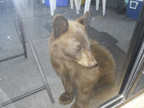 | Courtesy Terry Peterson Dodi Laraway of Montana was sleeping near a sliding glass door on a houseboat at Lake Powell on Sept. 28 and woke up with this young black bear looking at her from the front deck.