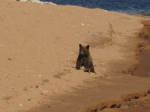 | Courtesy Dodi Laraway A young male black bear was hanging out and visiting campers near Face Canyon at Lake Powell before wildlife officers captured the animal and moved it to a remote location.