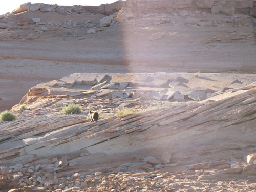Ranger Christian Roper | Courtesy National Park Service A young male black bear visiting campers near Face Canyon at Lake Powell runs off as federal and state officers attempt to haze him out the area.