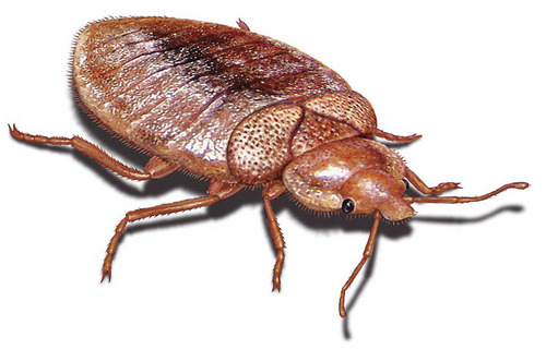 Image of a bedbug. Courtesy of Orkin, Inc.