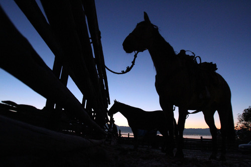Francisco Kjolseth  |  The Salt Lake Tribune Horses are readied in the pre-dawn hours as riders from near and far numbering 430 prepare to move a herd of more than 500 bison on Antelope Island during the 26th annual bison roundup on Friday, October 26, 2012.