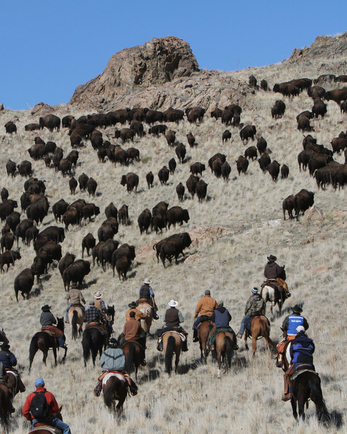 Francisco Kjolseth  |  The Salt Lake Tribune Riders from near and far numbering 430 move a herd of more than 500 bison from the rocky west side of Antelope Island during the 26th annual bison roundup on Friday, October 26, 2012.
