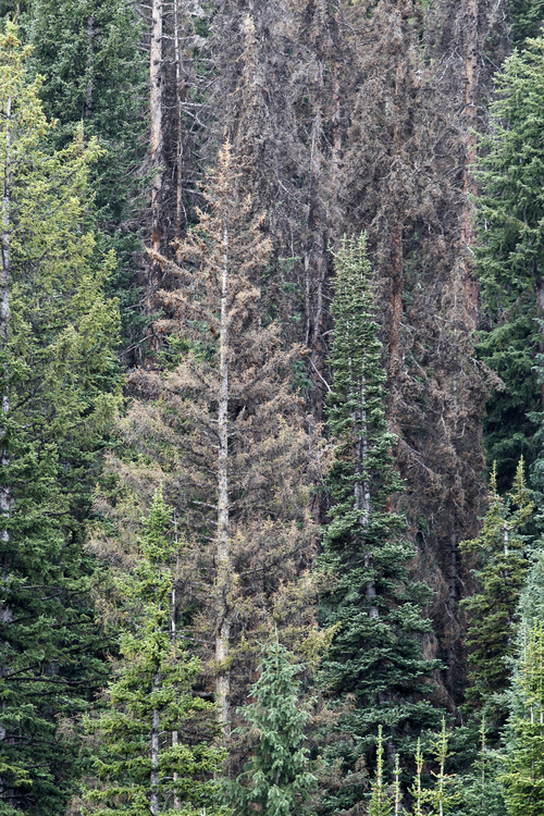 Al Hartmann  |  The Salt Lake Tribune	 A mosaic of Englemann spruce forest shows various stages of dying from bark beetle infestation in the Soapstone Basin area of the Uinta Mountains.
