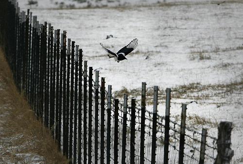 Scott Sommerdorf   |  The Salt Lake Tribune A magpie forages for food along a fenceline near a snowy field near Park City, Sunday, November 3, 2013.