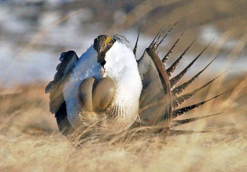 """FILE --This file photo taken Tuesday, April 15, 2008, shows a  male sage grouse performing  his """"strut"""" near Rawlins, Wyo.. The Bureau of Land Management has released draft management proposals to protect sage grouse in Nevada and a sliver of northeast California along the state line. Six options for managing 17 million acres were released Friday Nov. 1, 2013 and come as the U.S. Fish and Wildlife Service considers whether the bird found in 10 western states needs protection under the Endangered Species Act. (AP Photo/Rawlins Daily Times, Jerret Raffety, File) NO SALES"""