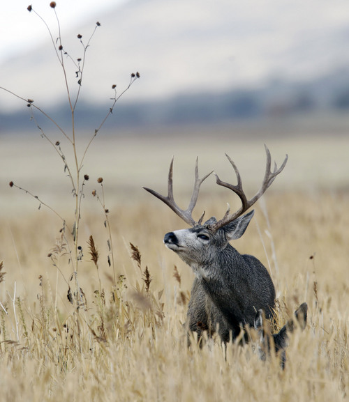 Al Hartmann  |  The Salt Lake Tribune A buck mule deer looks over doe laying in deep grass, (below right) near the Fielding Garr Ranch on the east side of Antelope Island. The Utah Division of Wildlife Resources is promoting a plan to capture up to 200 mule deer, mostly does, for relocation to other parts of the state this winter.