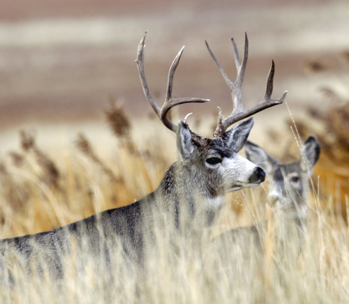 Al Hartmann  |  The Salt Lake Tribune A buck mule deer looks over doe near the Fielding Garr Ranch on the east side of Antelope Island. The Utah Division of Wildlife Resources is promoting a plan to capture up to 200 mule deer, mostly does, for relocation to other parts of the state this winter.