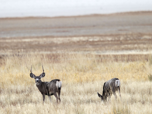 Al Hartmann  |  The Salt Lake Tribune Two young buck mule deer graze near the Fielding Garr Ranch on the east side of Antelope Island. The Utah Division of Wildlife Resources is promoting a plan to capture up to 200 mule deer, mostly does, for relocation to other parts of the state this winter.