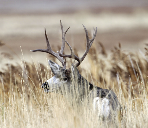 Al Hartmann  |  The Salt Lake Tribune A buck mule deer grazes in high grass near the Fielding Garr Ranch on the east side of Antelope Island. The Utah Division of Wildlife Resources is promoting a plan to capture up to 200 mule deer, mostly does, for relocation to other parts of the state this winter.