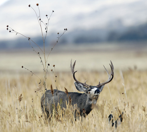 AAl Hartmann  |  The Salt Lake Tribune A buck mule deer looks over doe laying in deep grass, (below right) near the Fielding Garr Ranch on the east side of Antelope Island. The Utah Division of Wildlife Resources is promoting a plan to capture up to 200 mule deer, mostly does, for relocation to other parts of the state this winter.