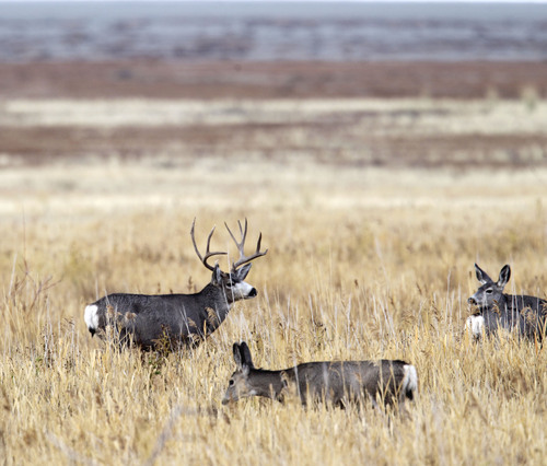 Al Hartmann  |  The Salt Lake Tribune A bck mule deer looks over two doe near the Fielding Garr Ranch on the east side of Antelope Island.  The Utah Division of Wildlife Resources is promoting a plan to capture up to 200 mule deer, mostly does, for relocation to other parts of the state this winter.