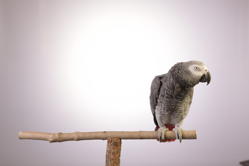 "Courtesy photo An African Gray parrot in ""Parrot Confidential."""