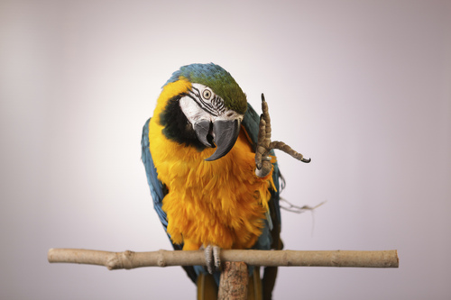 "Courtesy photo A blue and gold macaw in PBS' ""Parrot Confidential."""