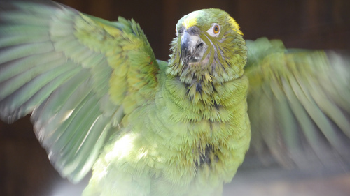 Courtesy photo Yellow-naped Amazon parrot enjoying a bath at the Santa Barbara Bird Farm, Montecito, Calif.