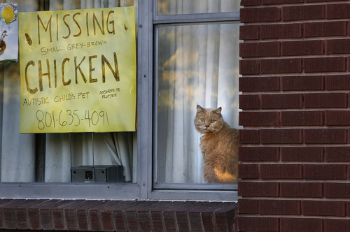 Scott Sommerdorf   |   The Salt Lake Tribune Although one of the family cats looks quite guilty here, Flutter the chicken went missing in mid-September for other reasons. The Williams family in Canyon Rim put up this sign to see if anyone may have information about their missing Old English Game Bantam hen named Flutter. Their 7-year-old autistic daughter. Emma, has only one of their two pet chickens to play with, Monday, October 21, 2013.