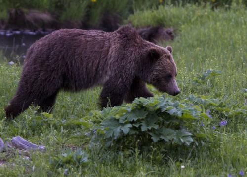 A grizzly bear roams near Beaver Lake in Yellowstone National Park, Wyo., on July 6, 2011. (AP Photo/Jim Urquhart)