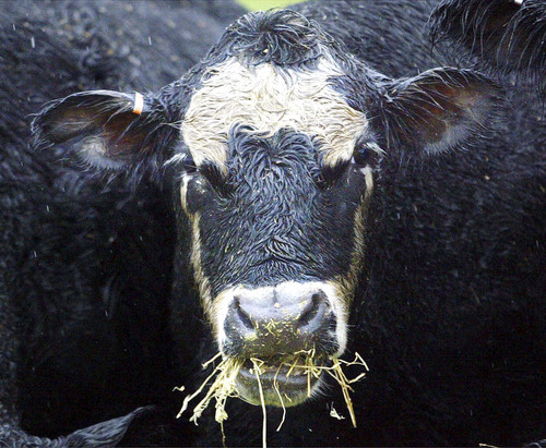 ** FILE ** A black Angus beef cow chews hay on a ranch, Dec. 28, 2003, in Molalla, Ore. (AP Photo/Rick Bowmer, File). Bill Gates is funding the development of condoms made out of alternative substances, including beef.