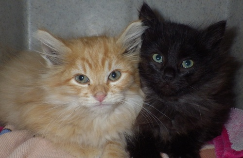 Two kittens survived being thrown from a moving truck Oct. 31, 2013, but three others died. Authorities are now offering a $7,500 reward for information about the incident.  Courtesy photo