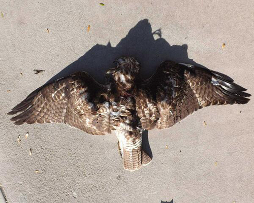| Courtesy DWR One of seven hawks shot and killed in Cache County.