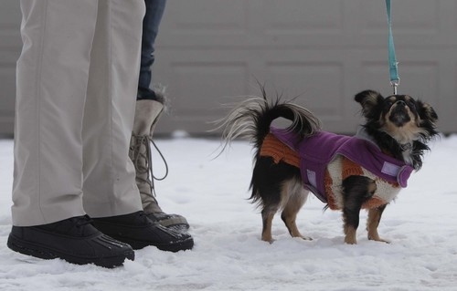 Leah Hogsten  |  The Salt Lake Tribune It was so cold Wednesday, December 4, 2013 that Rigby, the little chihuahua wore two sweaters while on a walk with her folks.