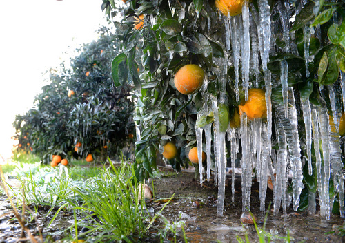Icicles hang off oranges as growers use water to help keep the orchard warm during freezing weather on Thursday, Dec. 5, 2013, in Del Rey, Calif. Citrus farmers are no stranger to frost and use irrigation and wind machines to propel warm air through the fields and raise the temperature of the air enveloping the groves. (AP Photo/The Fresno Bee, MARK CROSSE) LOCAL PRINT OUT (VISALIA TIMES-DELTA, REEDY EXPONENT, KINGBURG RECORDER, SELMA ENTERPRISE, HANFORD SENTINEL, PORTERVILLE RECORDER, MADERA TRIBUNE, THE BUSINESS JOURANL FRENSO); LOCAL TV OUT (KSEE24, KFSN30, KGE47, KMPH26) (REV-SHARE)